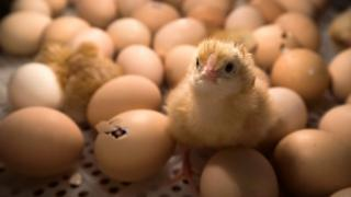 A chick stands among eggs being hatched inside an incubator at the Agriculture Fair in Paris in February 2017.