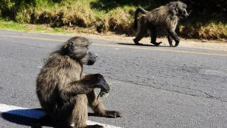 Des babouins en errance sur une route du Cap en dehors du parc national en Afrique du Sud (illustration)