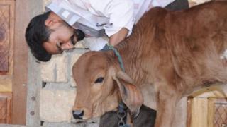 अपनी गाय गौरा के बछड़े के साथ बालूभाई