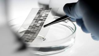 DNA autoradiogram being picked up with a pair of tweezers from a petri dish