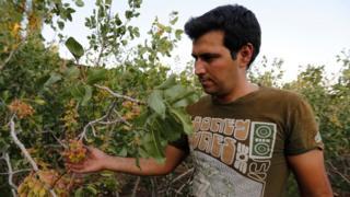 Pistachos en Irán