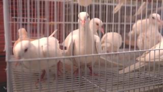 حمام وكناري وطيور من حول العالم في سوق كا فاروشي