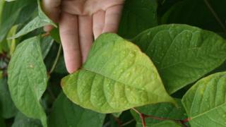 Close-up of knotweed leaf