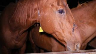 A racehorse in a pen at an Queensland abattoir accused of slaughtering horses.