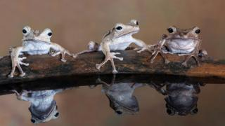 """A photo titled """"Three tree frogs sitting on a log"""" - voted second in Advanced Nature Projected"""