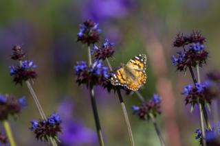 Painted Lady March 15
