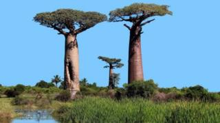 Dying Baobabs Trees
