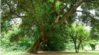 The Holm Oak, Kilbroney Park, Rostrevor, County Down