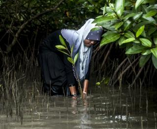 Planting mangrove trees