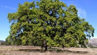 positive news Mature valley oak (Image: Victoria Sork)
