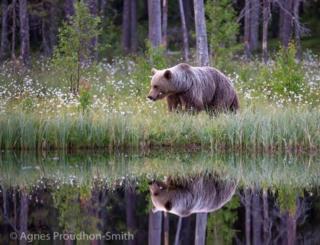 Bear in Finland