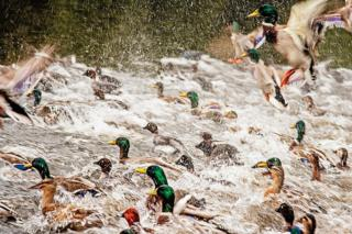 """A photo of ducks titled """"Duck Stampede"""" - voted first in Advanced Nature Print"""