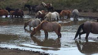 ponies drinking from water