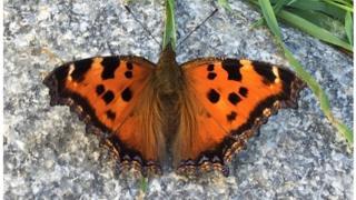 Сонцевик чорно-рудий або Nymphalis xanthomelas - стійкий, легко мігрує і всюди знаходить їжу, пояснює вчений навалу метеликів