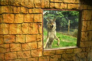 A wolf leaps against a window at its enclosure in a zoo