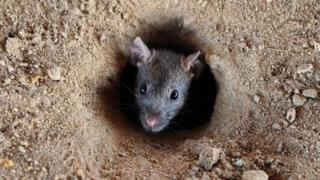Expert say rats no go confuse igbo for food.