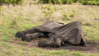 Elefante morto no Parque Nacional Hwange, no Zimbábue