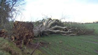 Dark hedge tree