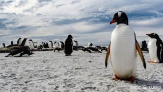 Pingüinos en las islas Falklands/Malvinas