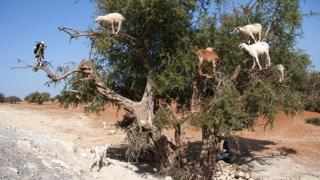 Goats on a tree in Morocco