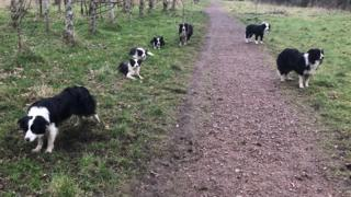 Collies in Drumpellier Park