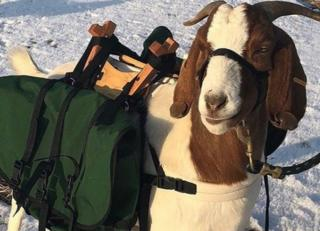 An image of a goat caddy shared by the Retreat and Links at Silvies Valley Ranch.