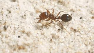 A red fire ant crawls across sand