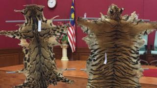 Hai bộ da của loài hổ đang đe dọa tuyệt chủng của Malaysia được phát hiện tại cuộc truy bắt hôm 4/7