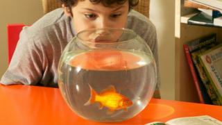 Boy looking into goldfish bowl