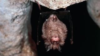 Por que os morcegos, considerados possível fonte do coronavírus, transmitem tantas doenças