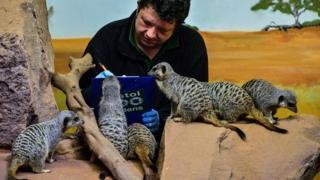 Meerkats gather around mammal keeper Scott Allen