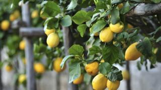 كيلو الليمون في مصر يناطح الدولار