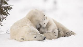 A polar bear cub and its mother