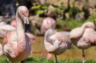 Flamingos standing together