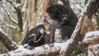 Малайские медведи Милли и Тони