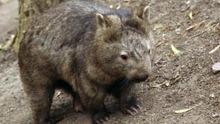 A furry brown wombat stands on dirt