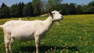 Ubu bushakashatsi bwakorewe ahitwa Buttercups Sanctuary for Goats hororerwa ihene i Kent mu Bwongereza