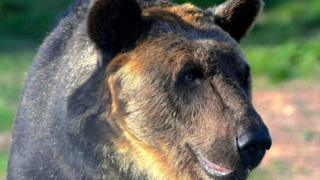 Ussuri brown bear Hanako