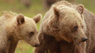 A female Scandinavian brown bear with her cub.