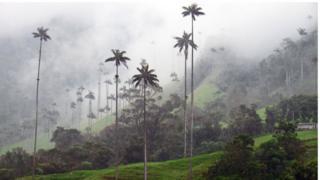 Palmas de cera en el Valle de Cocora