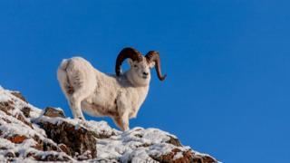 Баран Далля (дикая овца)