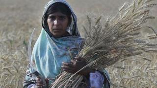 wheat, farmng, crops