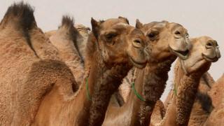 A Saudi man rides a camel he participates in King Abdulaziz Camel Festival in Rimah Governorate, north-east of Riyadh, Saudi Arabia January 19, 2018
