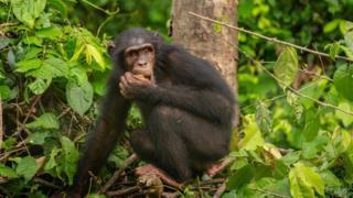 Nigeria-Cameroon chimp