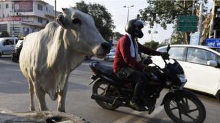 يُعزى إلى الأبقار وغيرها من الماشية سُبع انبعاثات الغازات المُسببة للاحتباس الحراري الناجمة عن أنشطة بشرية أو حيوانية، وذلك في وقت تُسبب فيه وسائل المواصلات خُمس هذه الانبعاثات تقريبا