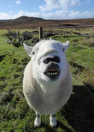 Mouton the ram