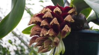 The Bulbophyllum phalaenopsis orchid