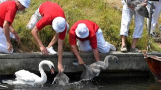Officials release swans back into the water