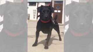 Patterdale Terrier Harrison