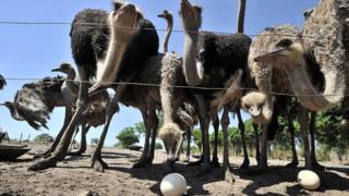 25 ans de prison, une condamnation de deux jeunes en Tanzanie pour trafic d'oeufs d'autruche